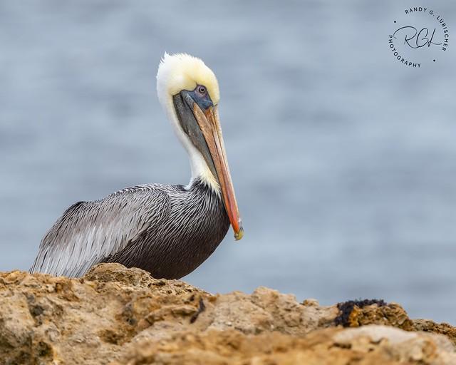 Brown Pelican | Pelecanus occidentalis | 2020 - 2