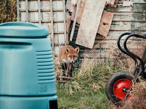 Fox at Alderman Moore's allotments, Bristol BS3