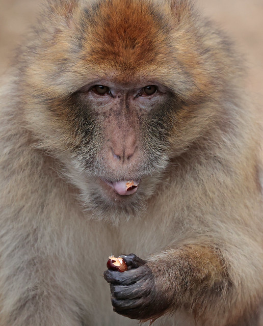 barbary macaque Ouwehand 9K2A8792