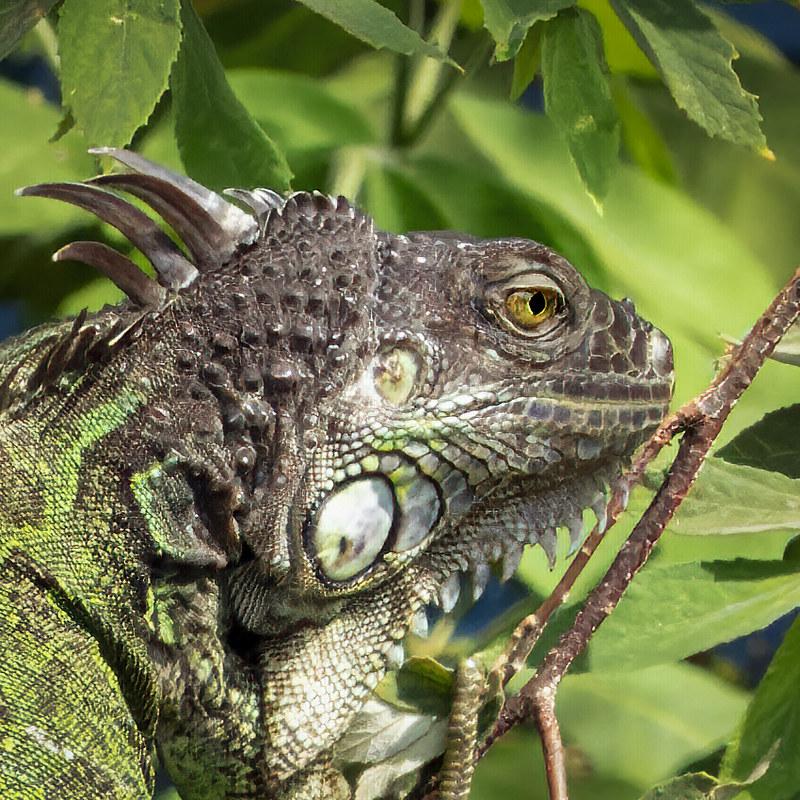 Portrait du dragon des arbres... 50621386667_94bb820bd1_c
