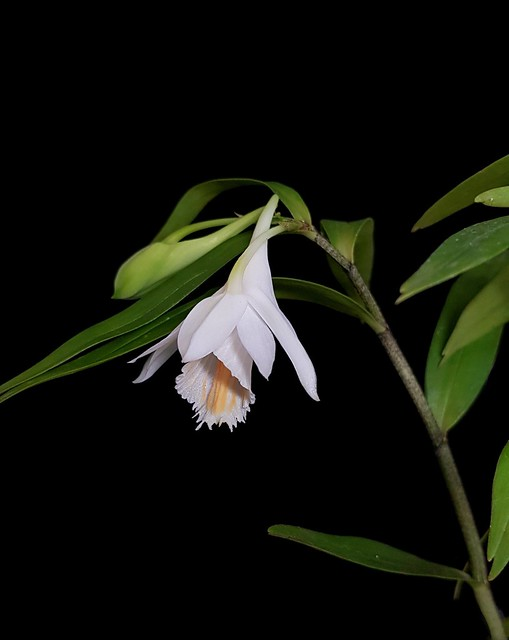Dendrobium longicornu x chapaense