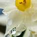 Narcissus_Jonquil_HAS_1837.jpg