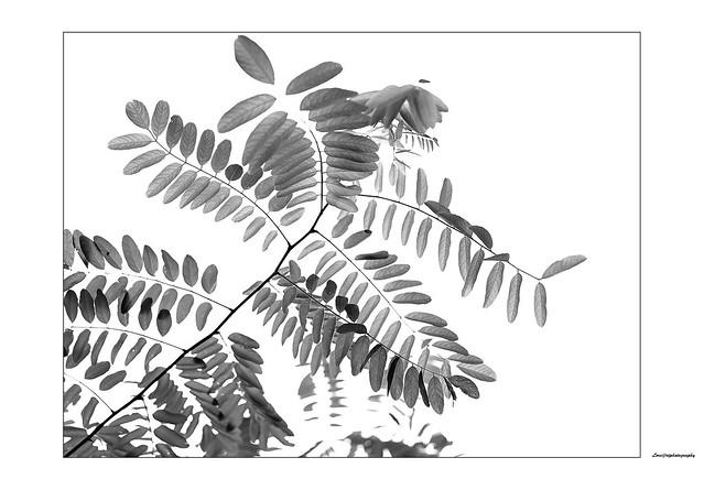 Acacia branch...