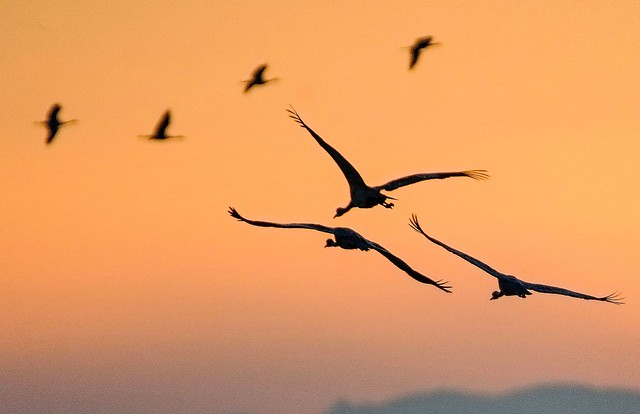 Three and Four Sandhill Cranes