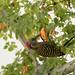 carpintero de La Española / Hispaniolan Woodpecker   (Melanerpes striatus) Carpintero-2172