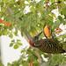 carpintero de La Española / Hispaniolan Woodpecker   (Melanerpes striatus) Carpintero-2156