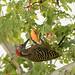 carpintero de La Española / Hispaniolan Woodpecker   (Melanerpes striatus) Carpintero-2150