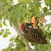 carpintero de La Española / Hispaniolan Woodpecker   (Melanerpes striatus) Carpintero-2151