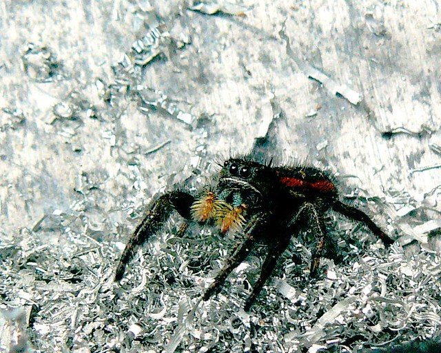 W20027 Little Jumping Spider
