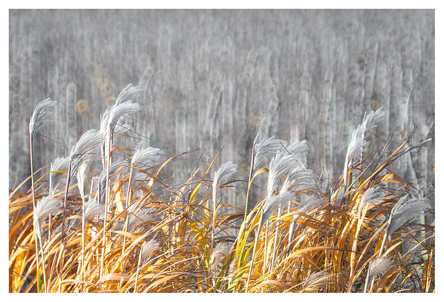 The reeds are singing