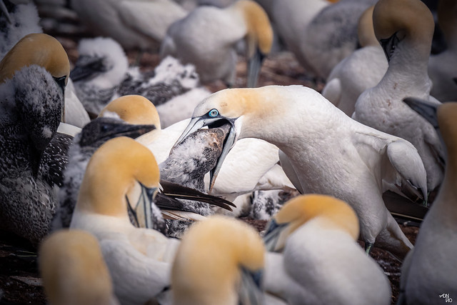 Northern Gannet - Behavior (Feeding)