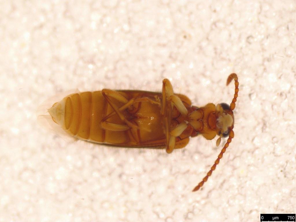 4b - Pseudotomoderus sp.