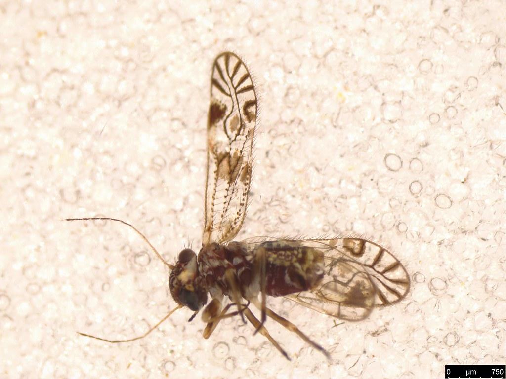 5a - Psocodea sp.