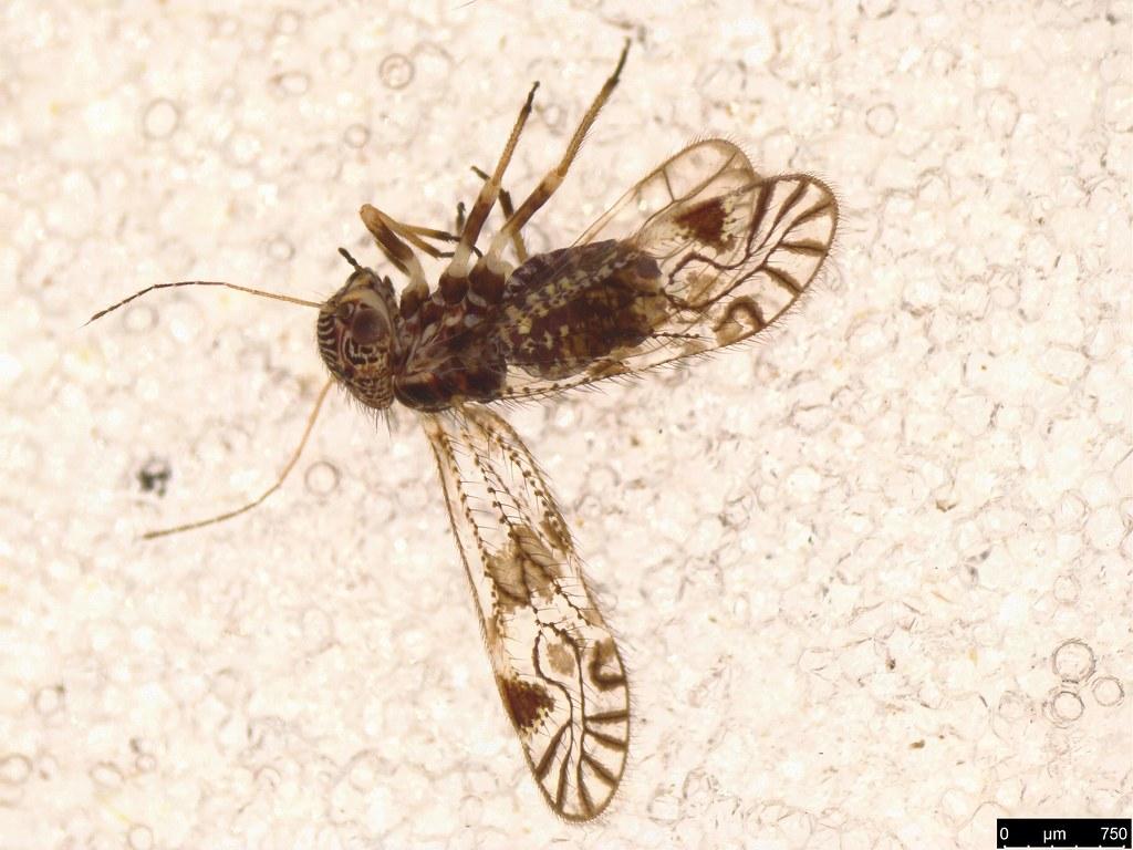 5b - Psocodea sp.