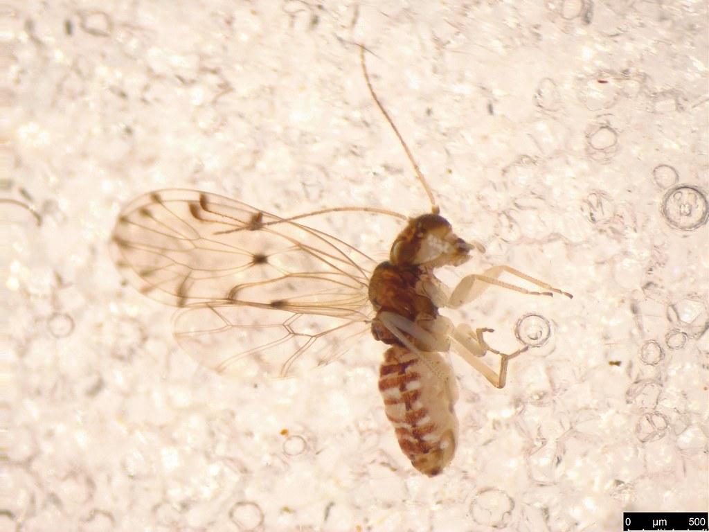 6 - Ectopsocus sp.