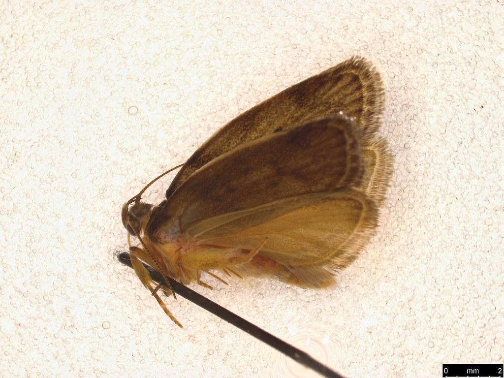 9a - Oecophorinae sp.