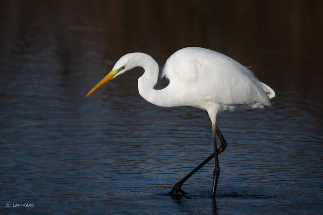 Grote Zilverreiger  /  Great White Egret