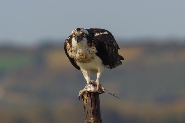 Osprey - Falco Pescatore (Pandion haliaetus) Explore  Oct 4, 2020 # 330
