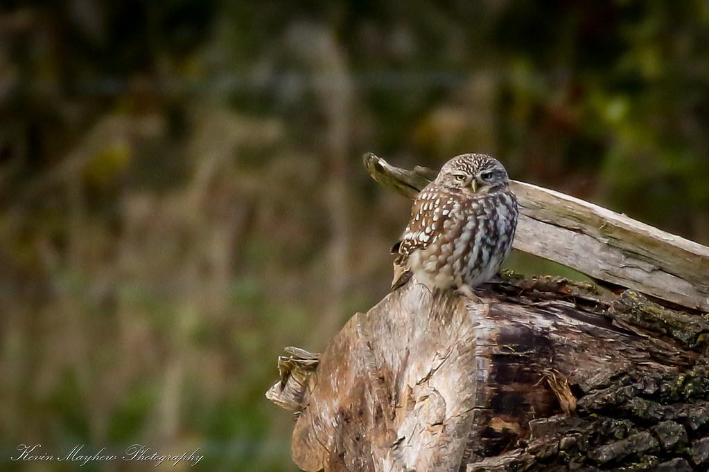 Little Owl_82A4506