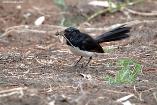 Willie Willie Wagtail: Packing in the kilojoules | by birdsaspoetry