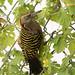 carpintero de La Española / Hispaniolan Woodpecker   (Melanerpes striatus) Carpintero-2218