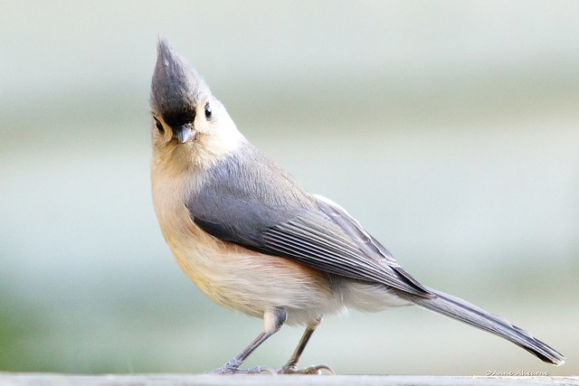 Tufted Titmouse :)
