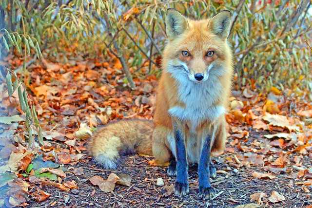 Barker ( Male Fox)
