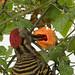 carpintero de La Española / Hispaniolan Woodpecker   (Melanerpes striatus) Carpintero-2281