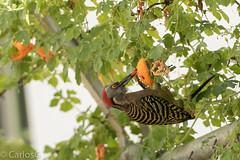 carpintero de La Española / Hispaniolan Woodpecker   (Melanerpes striatus) Carpintero-2173