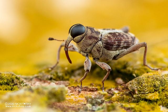 Weevil (cf. Osphilia sp.) - DSC_0154