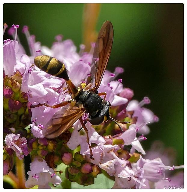 Blasenkopffliege (Conopidae),