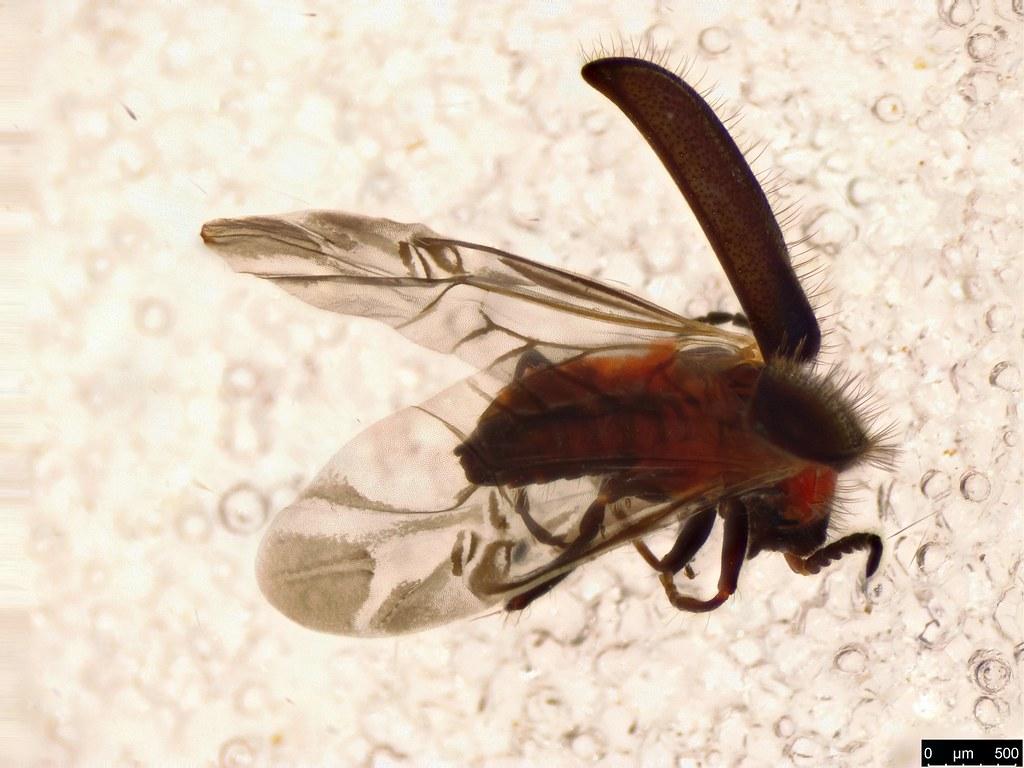 3a - Malachiinae sp.