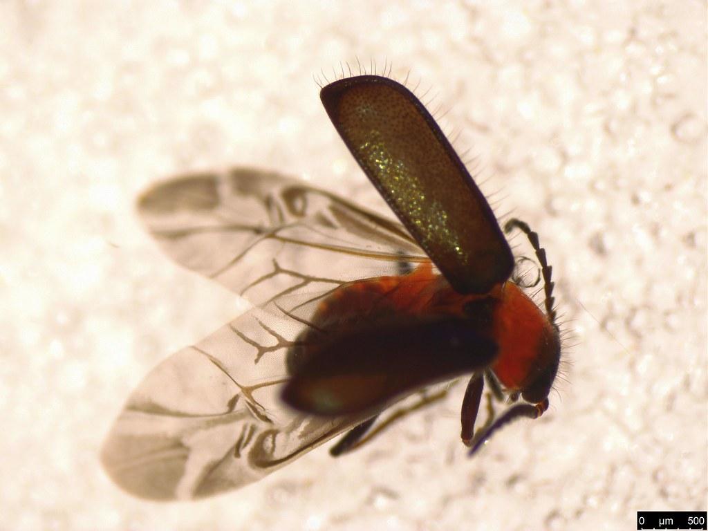 3b - Malachiinae sp.
