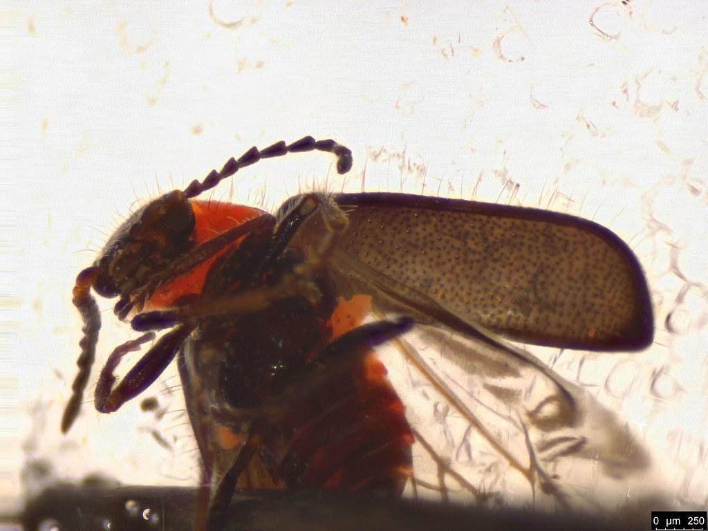3c - Malachiinae sp.