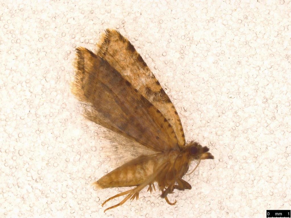 7 - Tortricinae sp.