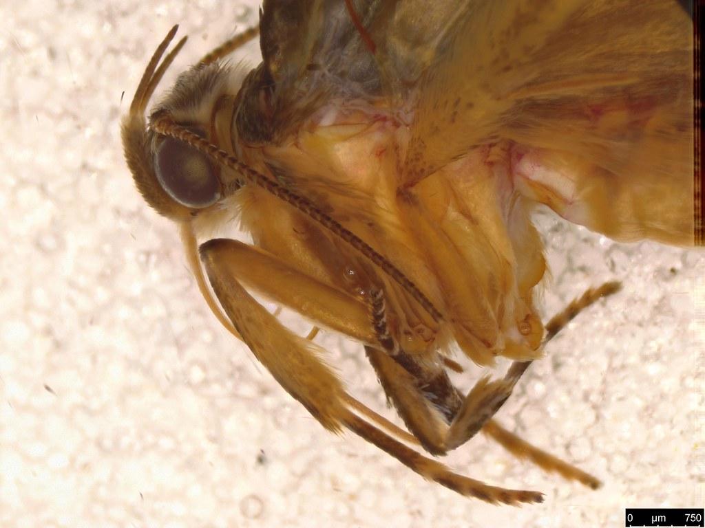 9b - Oecophorinae sp.