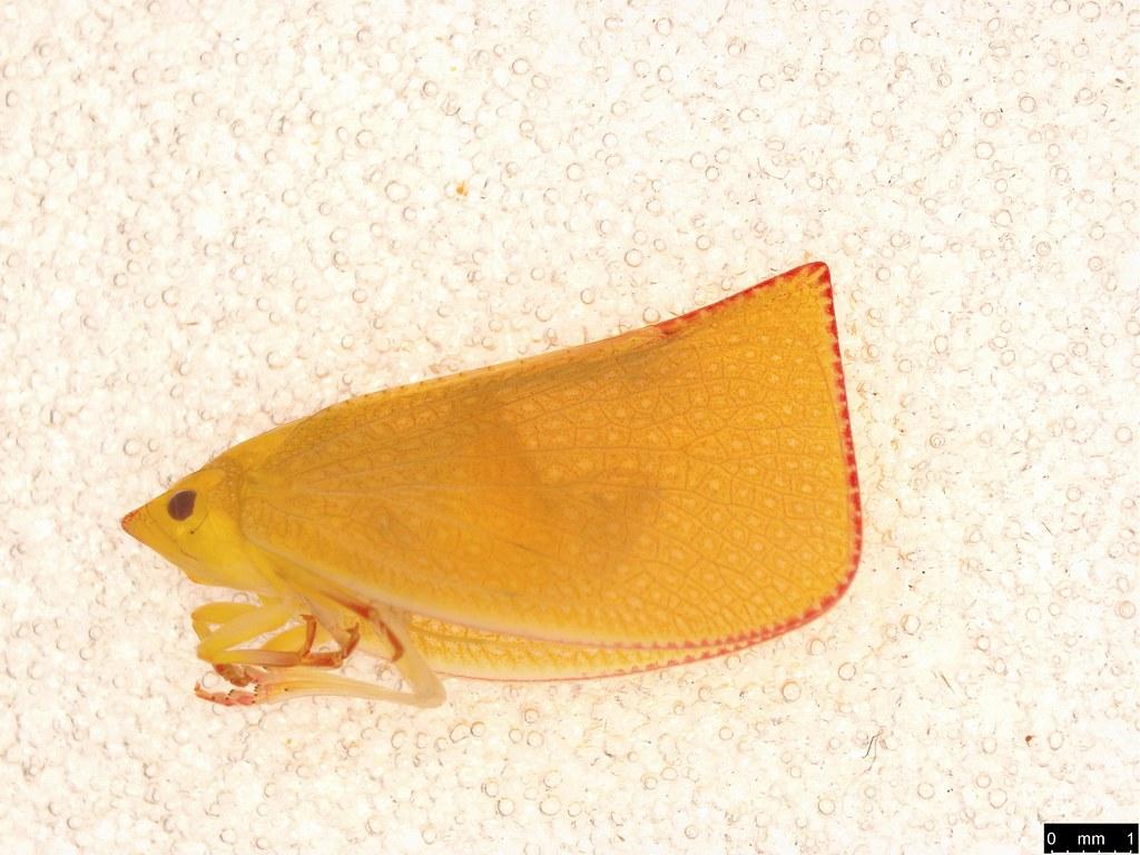 1 - Siphanta acuta