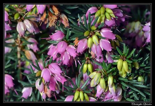 Bruyère de l'Ouest (Erica erigena)