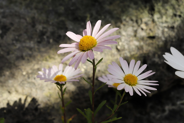 Chrysanthemum weyrichii  ピレオギク