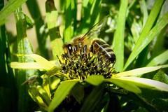 In Australia ci sono api che impollinano di notte