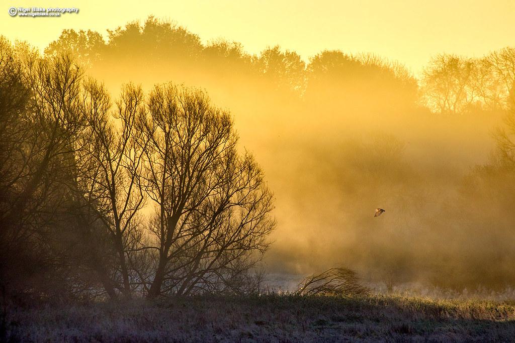Barn Owl, Willows and dawn mist
