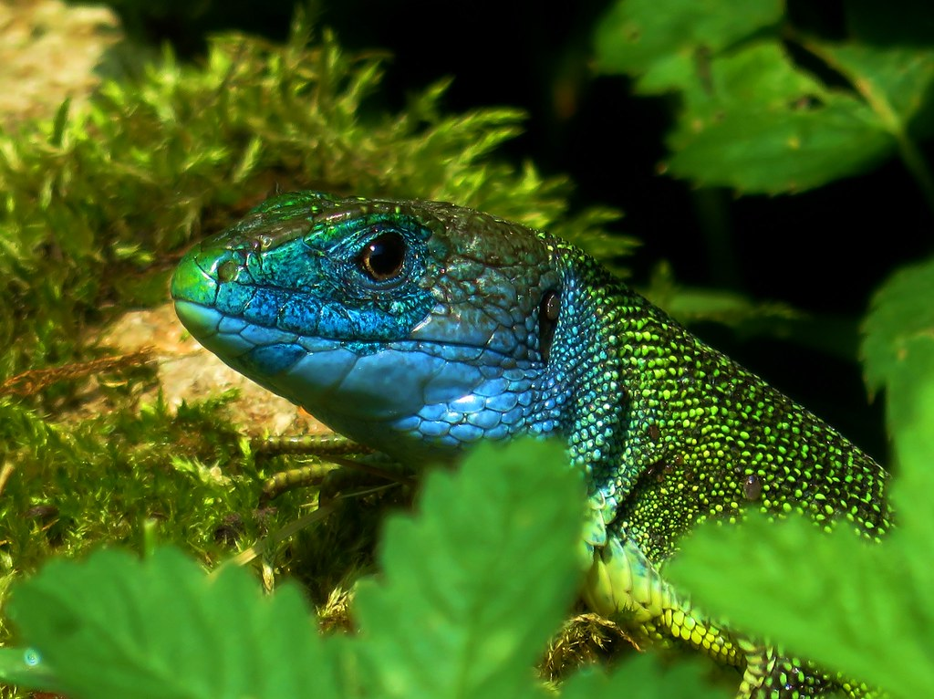 Western Green Lizard | Lacerta Bilineata | Adult Male | With Blue Facial Colors Typical During Mating Season | Ticino | Switzerland