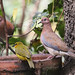 Laughing Dove-7D2_0760
