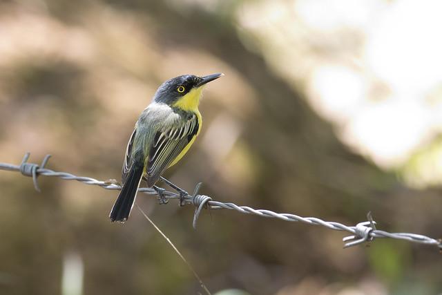 Common Tody-flycatcher (Todirostrum cinereum)