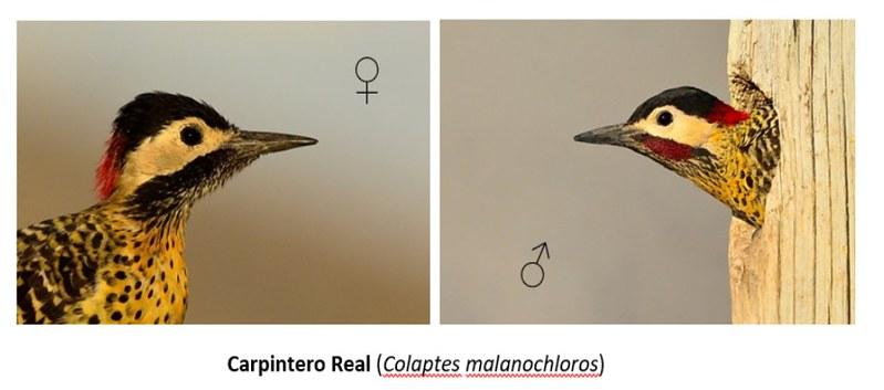 Carpintero real