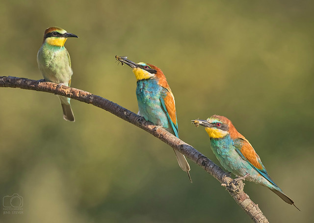Two are better than one - Bienenfresser (merops apiaster  - bee eater ·  ·  ·   (R5A_0253-small)