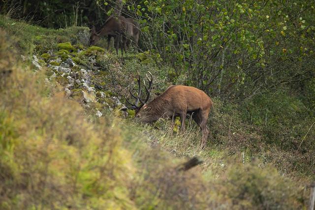 Joli cerf aux bois foncés (Cantal)