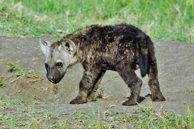 Hyena Cub With Dirty Nose (Crocuta crocuta)