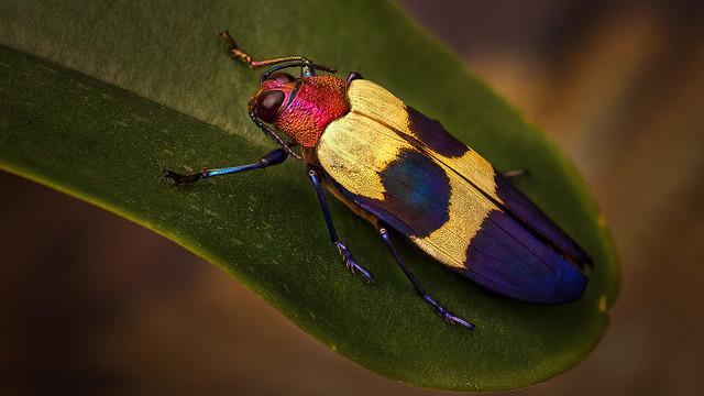 Chrysochroa Buqueti Rugicollis