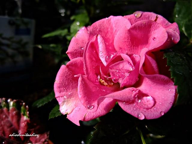 Rosa  022